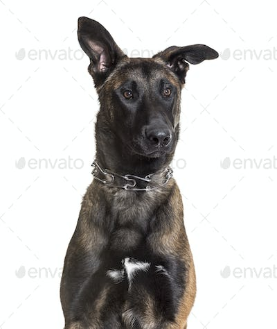 Malinois dog, 7 months old, sitting against white background