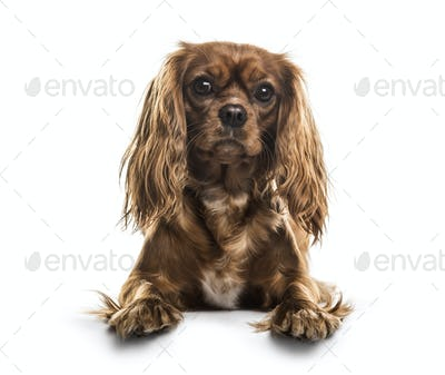 Cavalier King Charles Spaniel , 1 year old, lying against white background