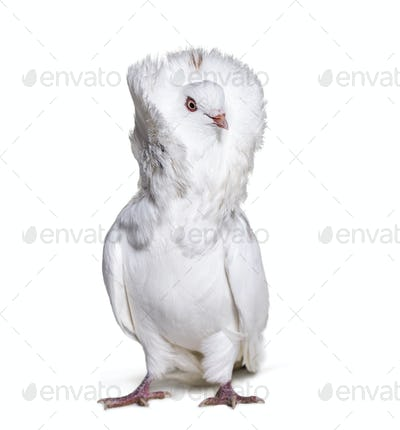 Jacobin pigeon also known as a fancy pigeon or capucin pigeon looking away against white background