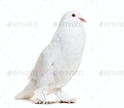 Ghent Cropper, a fancy pigeon, standing against white background