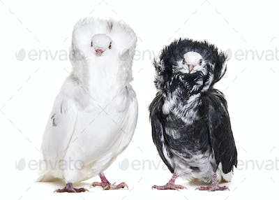 Black and white Jacobin pigeons in portrait against white background