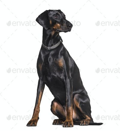 Doberman sitting in studio against white background