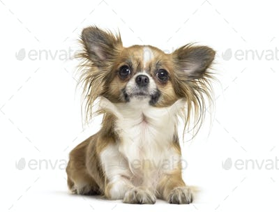 Chihuahua dog , 2 years old, lying against white background
