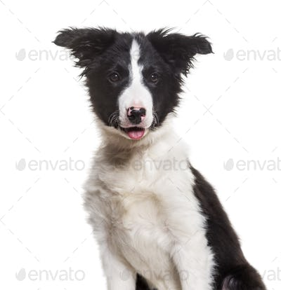 Border Collie dog, 4 months old, sitting against white background
