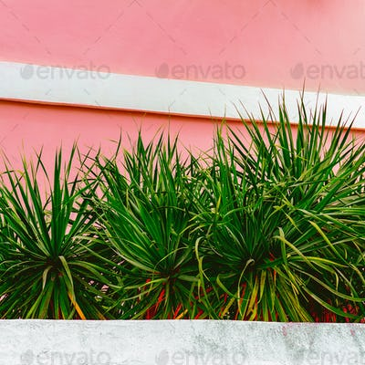 Plants on pink concept. Tropical green Canary island