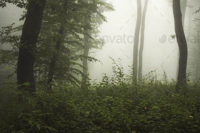 Green wild forest with fog