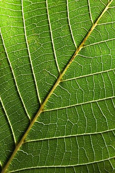 Macro photo of green leaf with veined pattern. Natural background for layout. Top view