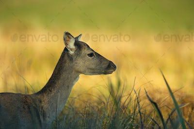 Portrait of female Fallow Deer (Dama dama)
