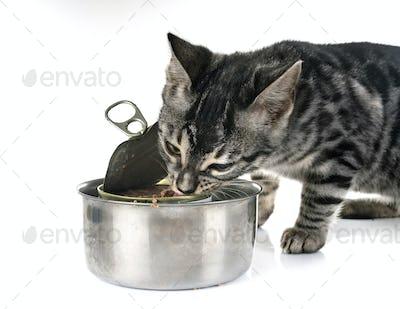 bengal kitten eating