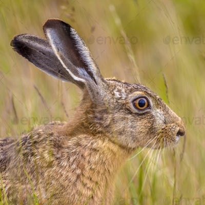 Portrait of alerted European Hare in grass