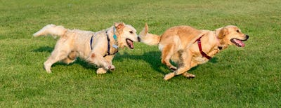 Two Golden Retriever running on grass