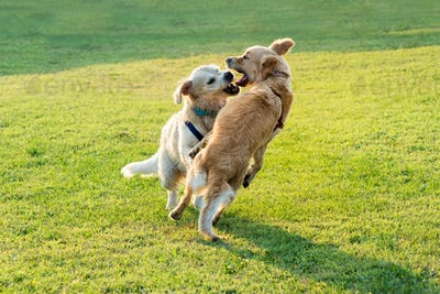 Two happy Golden Retriever dogs playing