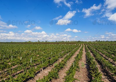 Vineyard in Mendoza Province, Argentina