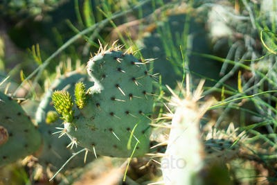 Cactus Leaf in the Shape of a Heart