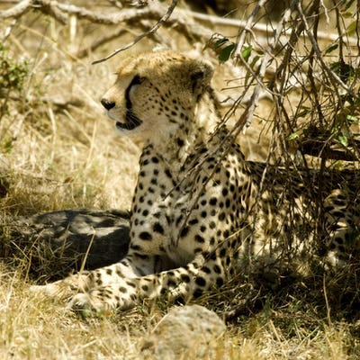 cheetah Masai mara Kenya