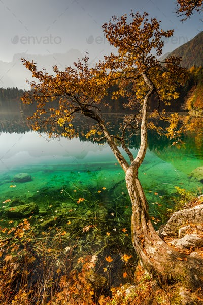 Lonely autumn tree over Fusine lake in Italy
