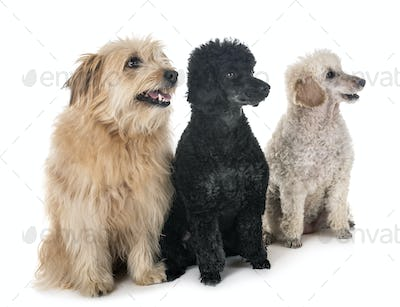 pyrenean shepherd and poodles