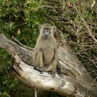 baboon Masai mara Kenya