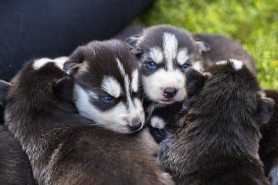 Many little Puppy husky