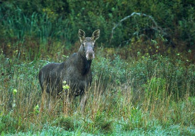 A female elk in the morning on an autumn meadow