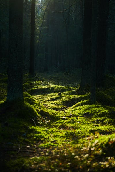 Sunlight streaming through a pine forest