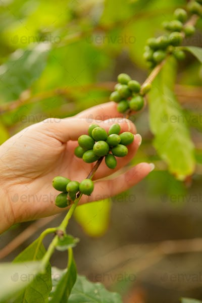 Close-Up Of Woman Holding Fresh Coffee Twig