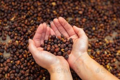 Female Employee Examines Dried Organic Raw Coffee Fruit Beans