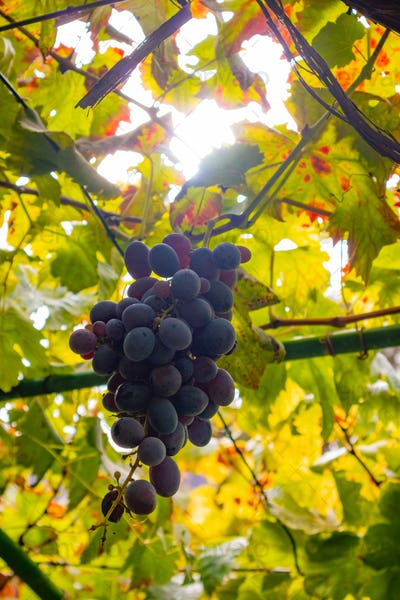 Close-Up Of One Grape Bunch At Organic Vineyard Against Sun
