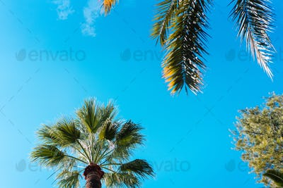 photo foliage of tropical palm trees.