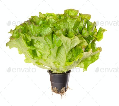 Batavia Red, living salad over white