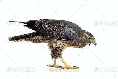 Young Black-chested Buzzard-eagle () - Geranoaetus melanoleucus