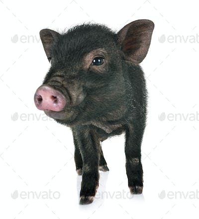 vietnamese pig in studio