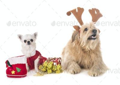 pyrenean shepherd and chihuahua