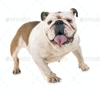english bulldog in studio