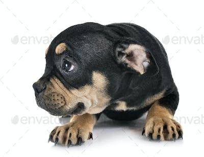 puppy american bully