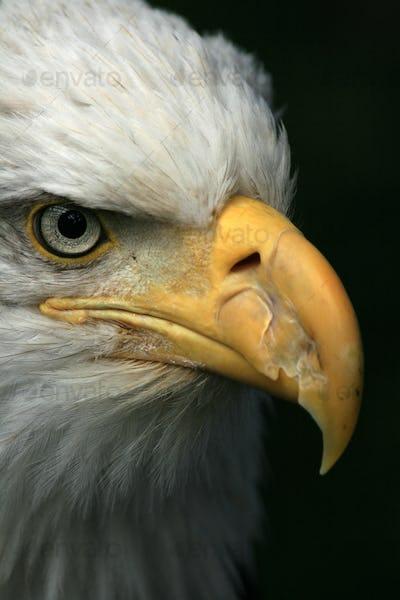 Bald Eagle, Alaska, USA