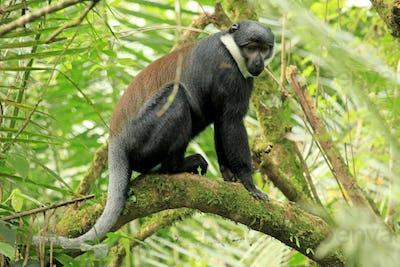 L'Hoests Monkey - Bigodi Wetlands - Uganda, Africa