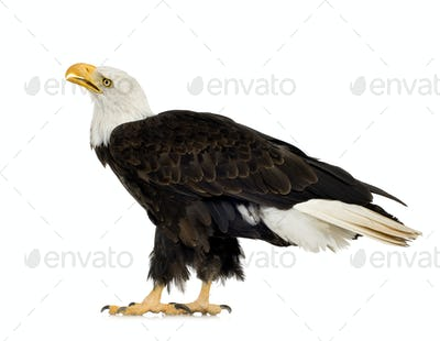 Bald Eagle (22 years) - Haliaeetus leucocephalus
