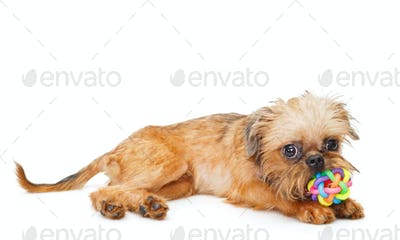 Brussels Griffon puppy with ball