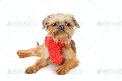 Brussels Griffon puppy in red scarf