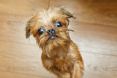 Brussels Griffon puppy with big eyes