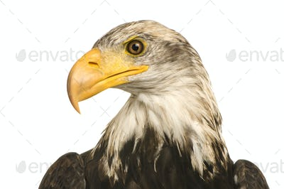 Young Bald Eagle (5 years) - Haliaeetus leucocephalus