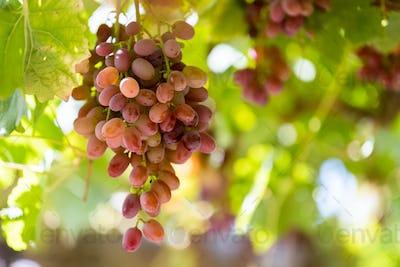 ripe red grapes closeup on xinjiang vineyard