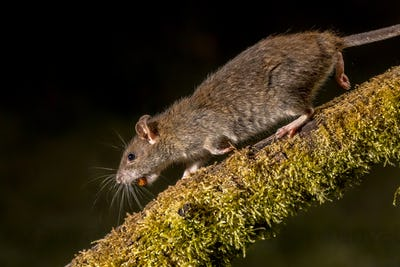 Wild Brown rat at night