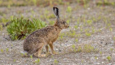 European Hare in open field