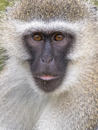 Vervet monkey portrait looking at camera