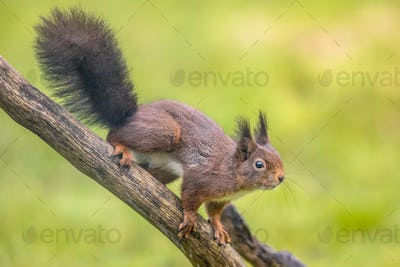 Red squirrel alerted
