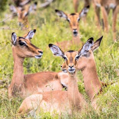 Impala group resting