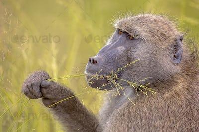 Chacma baboon feeding on grass seeds