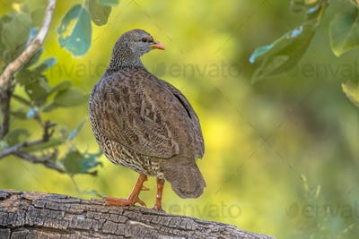 Natal Spurfowl on branch